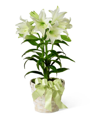 6inch Easter lily Plant in basket