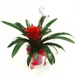 Red Bromiliad Plant
