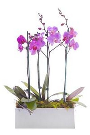 Orchid Plant Duo