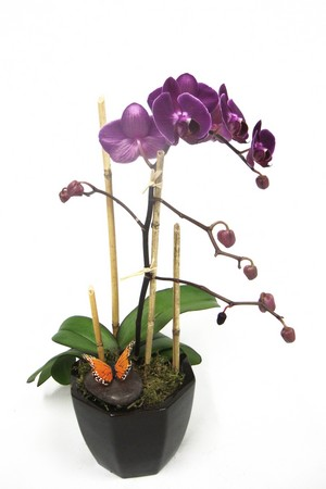 Purple Orchid Plant*