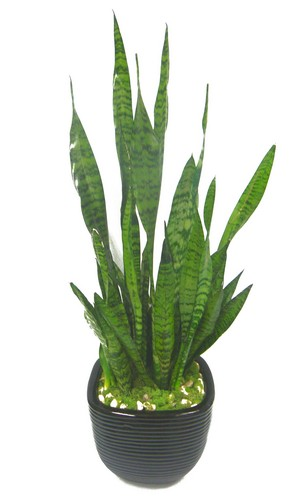 6in Snake Plant in pottery