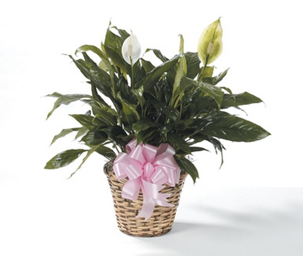 6inch Peace lily plant